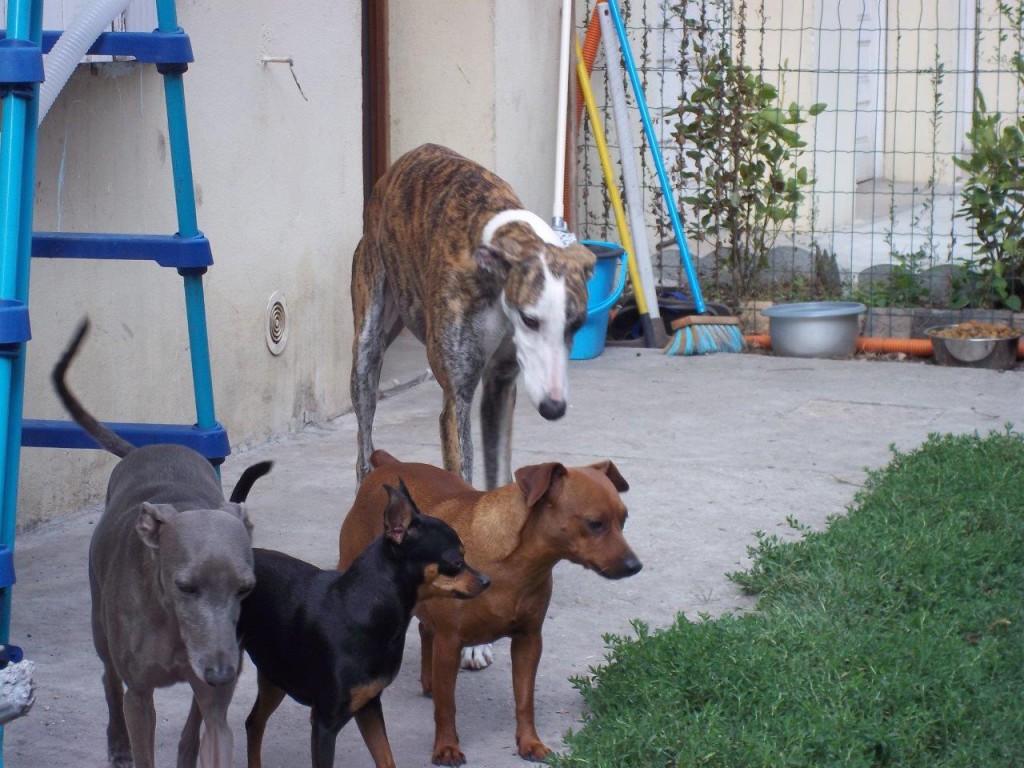 Photo de JOKER (BLOOM), un lévrier en attente d adoption