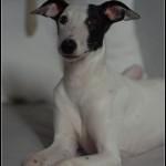 Photo de CHAUSSETTE, lévrier qui à été adopté