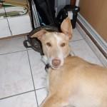 Photo de ELLIOT, lévrier qui à été adopté