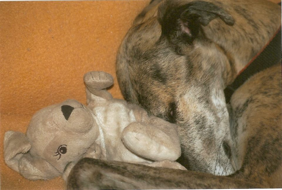 Photo de ILTON, un lévrier en attente d adoption