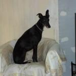 Photo de NINA, lévrier qui à été adopté