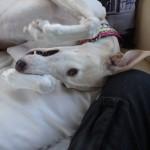 Photo de RUBIA, lévrier qui à été adopté