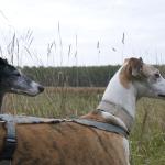 Photo de ATTI – IVANA et OTTO, lévrier qui à été adopté