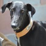 Photo de BILY, lévrier qui à été adopté