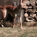 Photo de CHICO, lévrier qui à été adopté