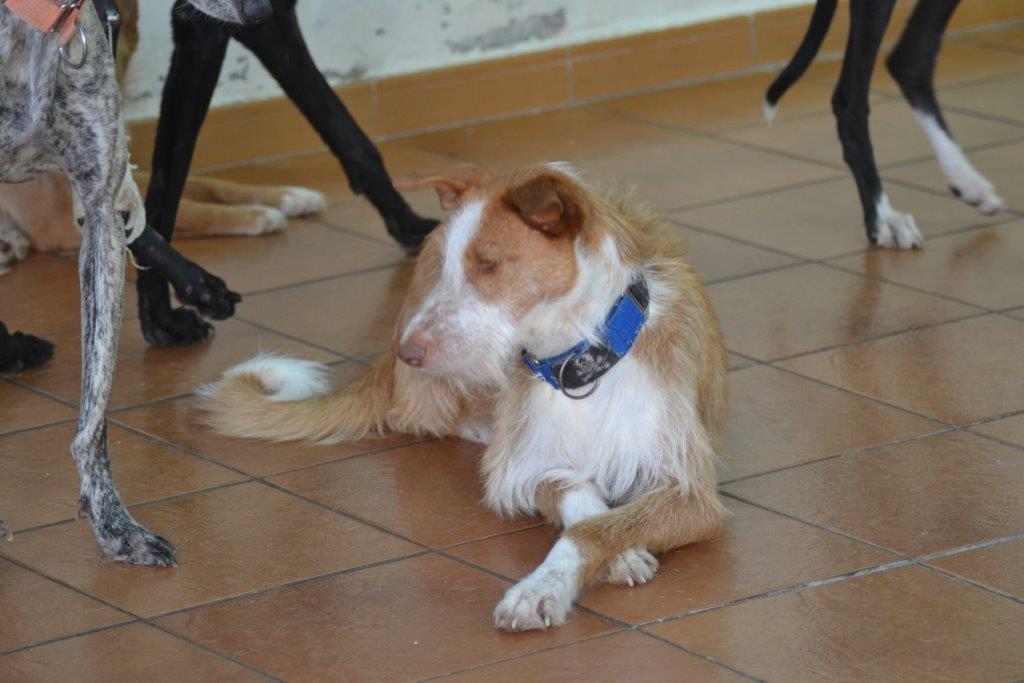 Photo de ILENIA, un lévrier en attente d adoption