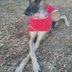 Photo de LEIA, un lévrier à adopté