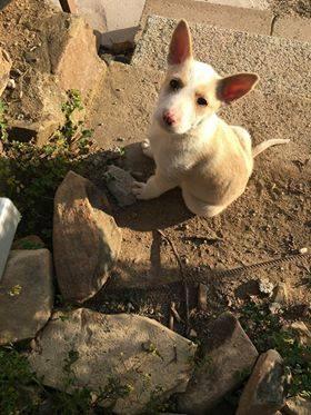 Photo de NINA, un lévrier en attente d adoption