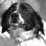 Photo de ASTERIX, un lévrier à adopté