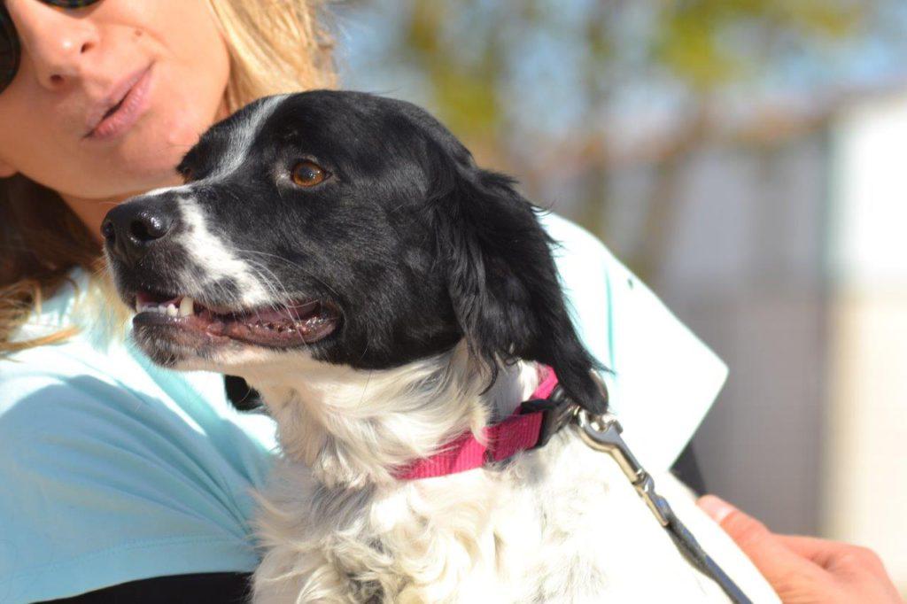 Photo de ASTERIX, un lévrier en attente d adoption