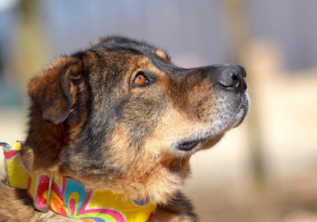 Photo de HARRY, un lévrier en attente d adoption