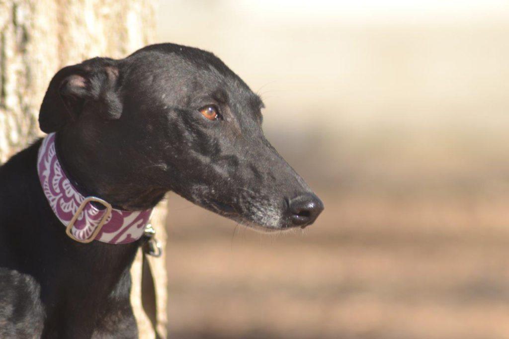 Photo de AZUCAR, un lévrier en attente d adoption