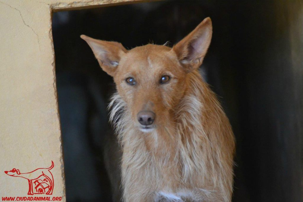Photo de LIMBO, un lévrier en attente d adoption