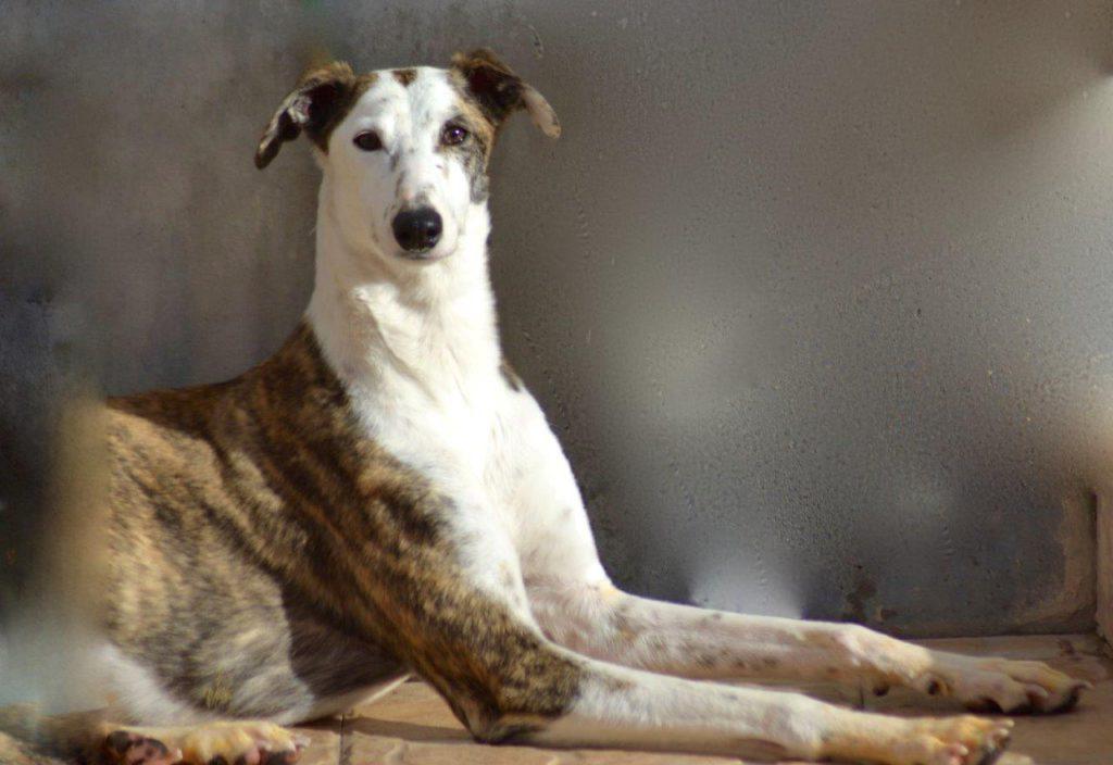 Photo de LINEA, un lévrier en attente d adoption