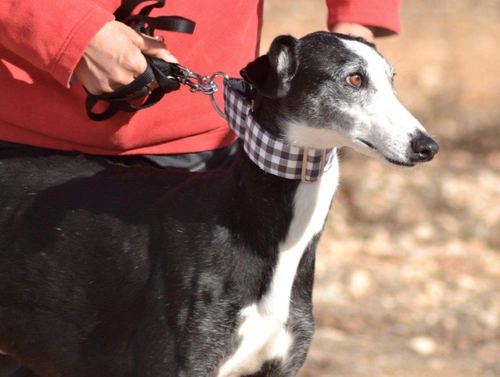Photo de EGAN, un lévrier en attente d adoption