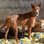 Photo de FUEGO, un lévrier à adopté