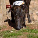Photo de BLAS, un lévrier à adopté