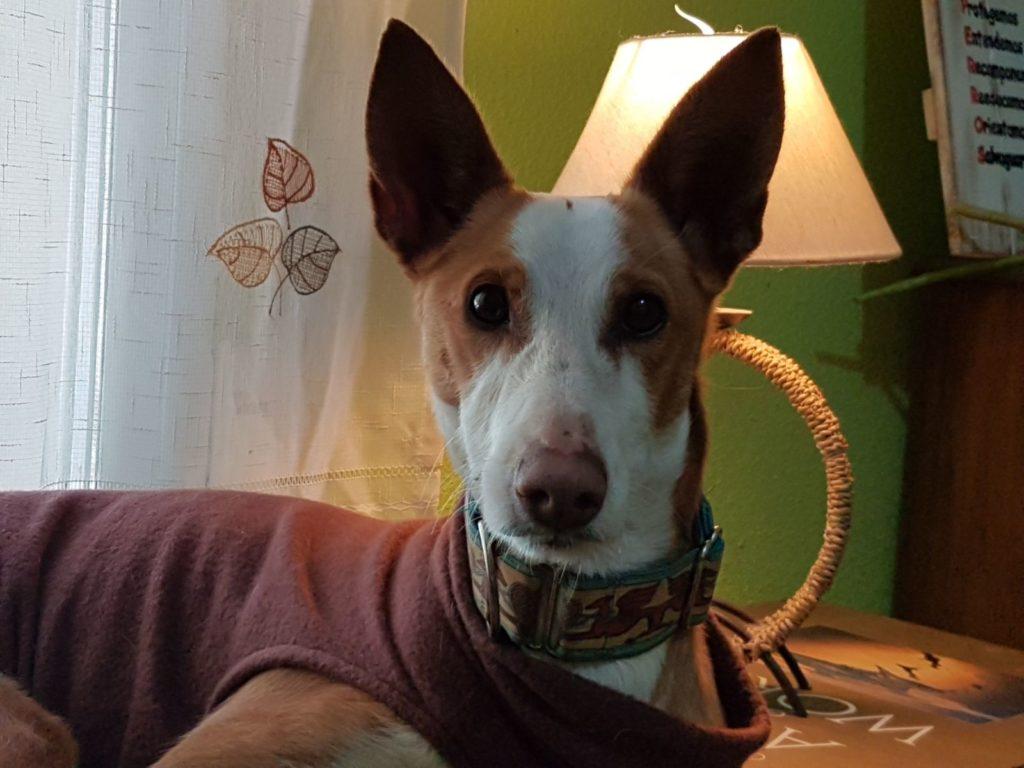 Photo de LUA, un lévrier en attente d adoption