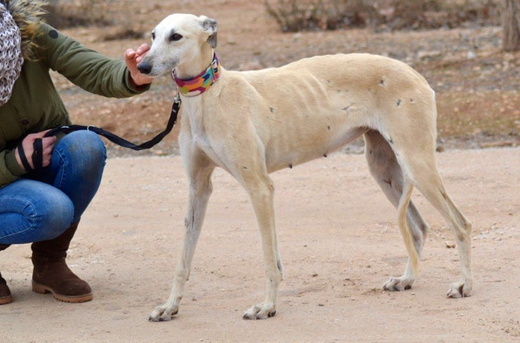 Photo de LUA galga, un lévrier en attente d adoption