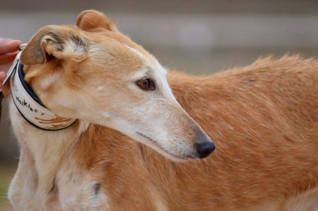 Photo de GORA, un lévrier en attente d adoption