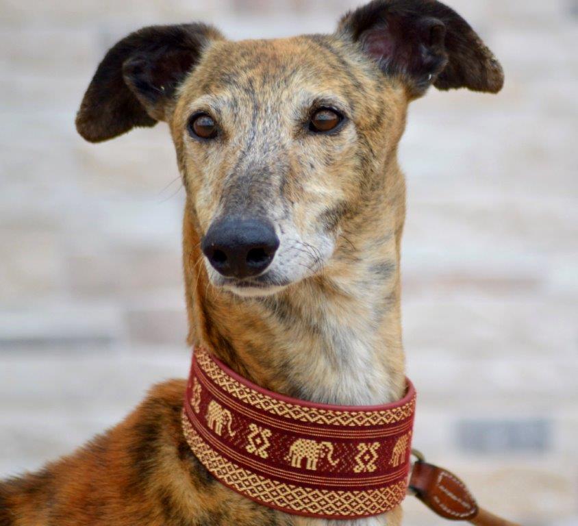 Photo de RUBIO, un lévrier en attente d adoption