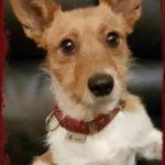 Photo de PIO, lévrier qui à été adopté