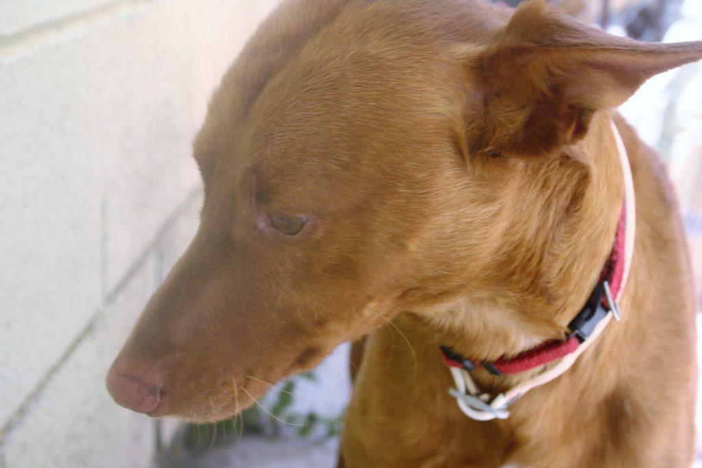 Photo de MELONCITO, un lévrier en attente d adoption
