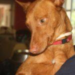 Photo de MELONCITO, un lévrier à adopté