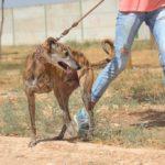Photo de RUFINO, un lévrier à adopté