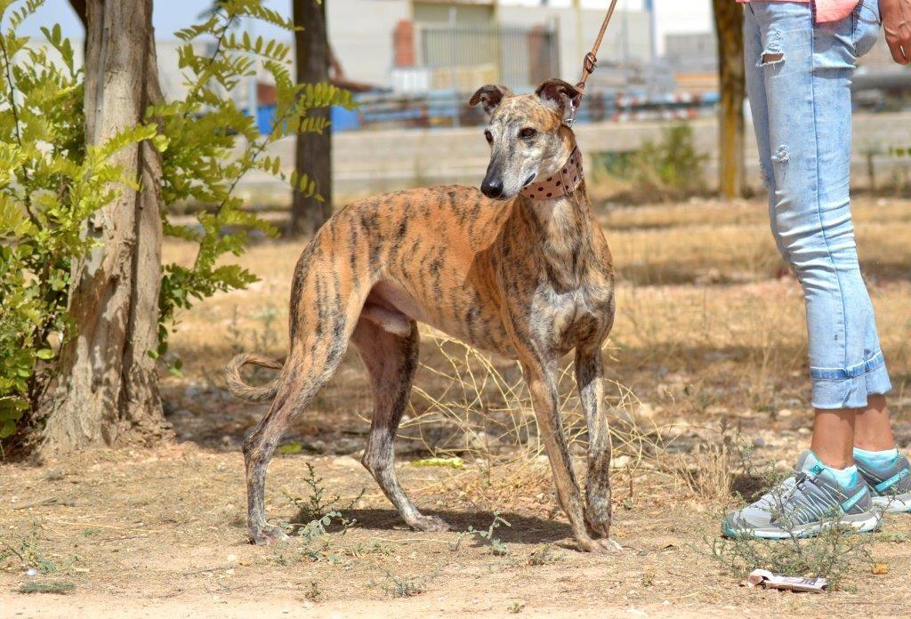 Photo de RUFINO, un lévrier en attente d adoption