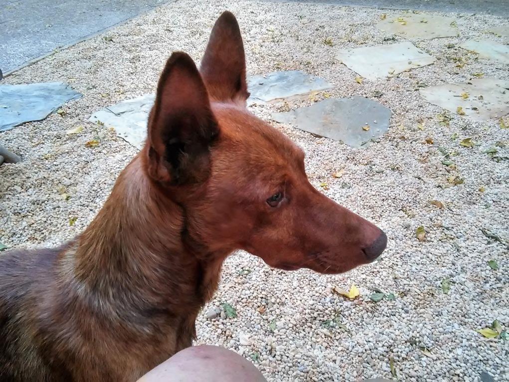 Photo de TOMILLO, un lévrier en attente d adoption