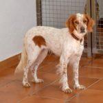 Photo de LIRA, lévrier qui à été adopté