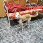 Photo de SURI, un lévrier à adopté