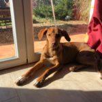 Photo de BRUJI, lévrier qui à été adopté
