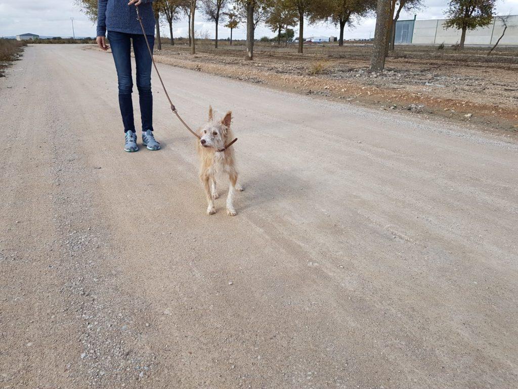 Photo de PEPITO, un lévrier en attente d adoption