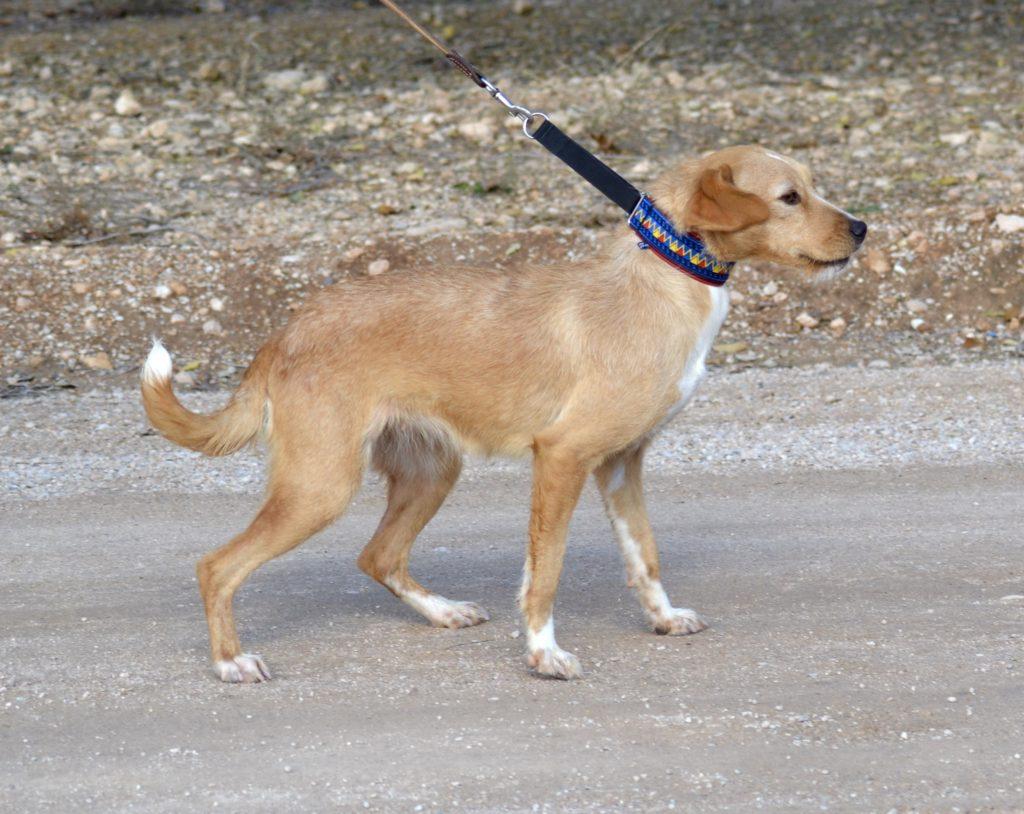 Photo de NATILLA, un lévrier en attente d adoption