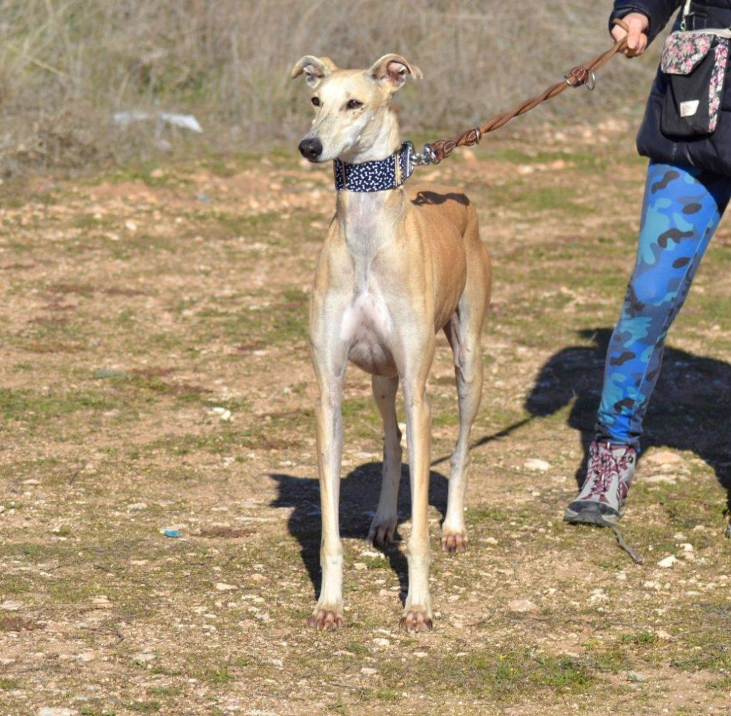 Photo de CALMA, un lévrier en attente d adoption