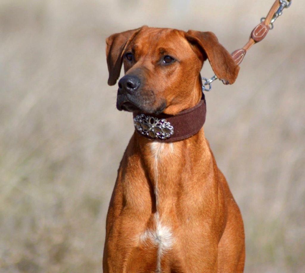 Photo de CLEO, un lévrier en attente d adoption