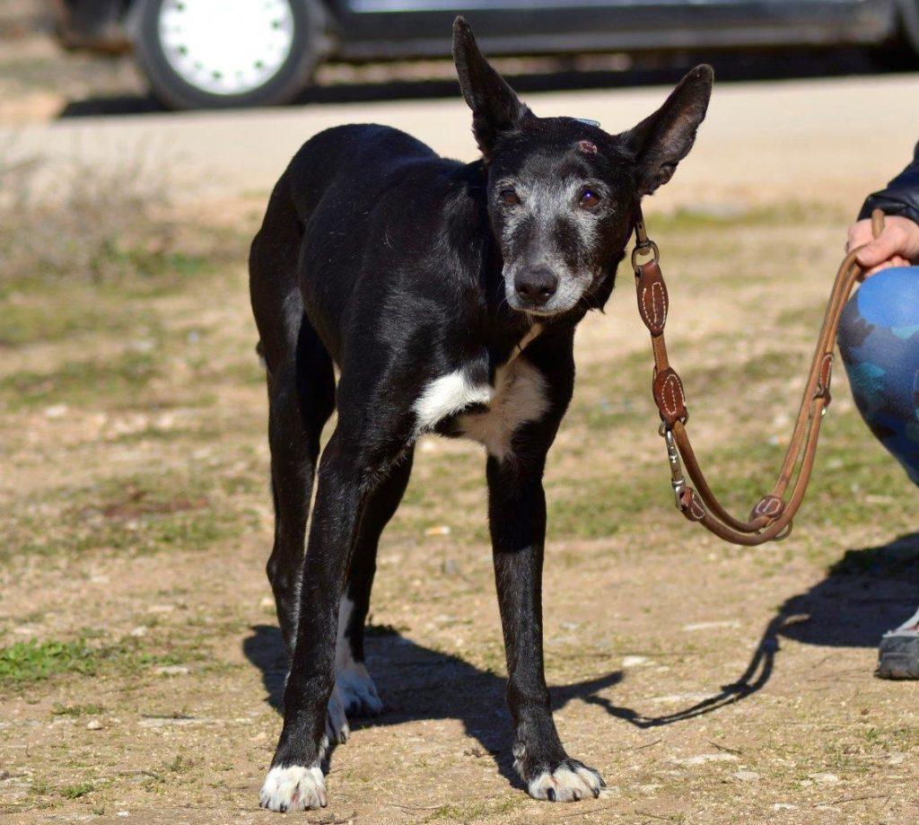 Photo de LALA, un lévrier en attente d adoption