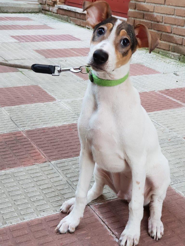 Photo de TANQUE, un lévrier en attente d adoption