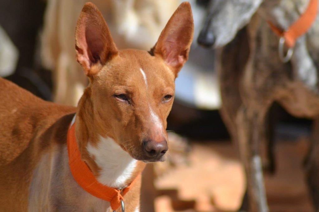 Photo de KLAUSS, un lévrier en attente d adoption