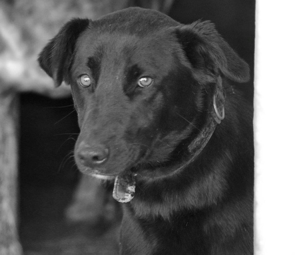 Photo de RICKI, un lévrier en attente d adoption