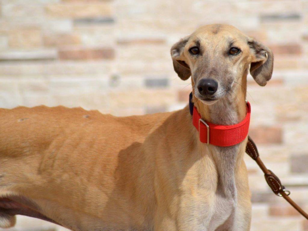 Photo de SIMEON, un lévrier en attente d adoption