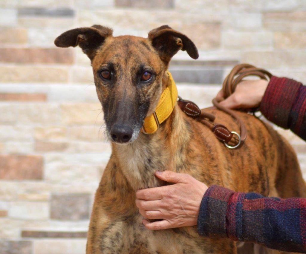 Photo de TOLOMEO, un lévrier en attente d adoption