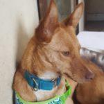 Photo de ZOYA, un lévrier à adopté