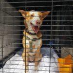 Photo de SIRO, un lévrier à adopté