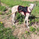 Photo de CLOE, lévrier qui à été adopté