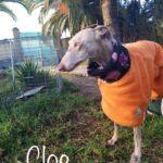Photo de CLOE, un lévrier à adopté