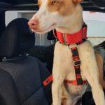 Photo de TINO, lévrier qui à été adopté